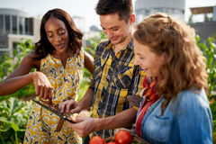 Friendly team harvesting fresh vegetables from the rooftop greenhouse garden and planning harvest season on a digital Stock Photo
