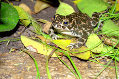 Friendly toad among the  leaves Royalty Free Stock Photography