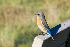 Friendly western bluebird sitting on a bench, Shoreline Park, San Francisco bay area, Mountain View, California royalty free stock photo