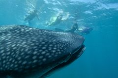 Friendly whale shark Royalty Free Stock Images