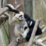 Friendly white & black monkeys. White and black monkeys at a zoo with their arms around each other Royalty Free Stock Photo