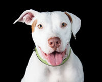 Friendly White Pit Bull Over Black. Cute smiling white color Pit Bull dog with mouth open smiling Royalty Free Stock Photos