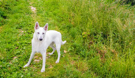 Friendly White Swiss Shepherd looking to the photographer Stock Image