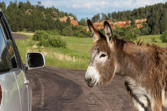 Friendly wild burro. Portrait of a friendly wild burro staring at a car window Stock Images