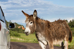 Friendly wild burro. Portrait of a friendly wild burro staring at a car window Stock Photos