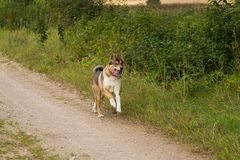 A friendly wolf like hunting dog enjoying free time in the field. Dog walk in the countryside Royalty Free Stock Photo
