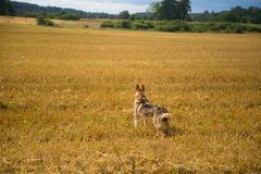 A friendly wolf like hunting dog enjoying free time in the field. Dog walk in the countryside Stock Photos