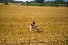 A friendly wolf like hunting dog enjoying free time in the field. Dog walk in the countryside Stock Photo