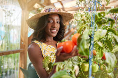 Friendly woman harvesting fresh tomatoes from the greenhouse garden putting ripe local produce in a basket Royalty Free Stock Photography