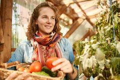 Friendly woman harvesting fresh tomatoes from the greenhouse garden putting ripe local produce in a basket Stock Photography