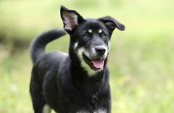 Happy dog wagging tail, Husky Shepherd mixed breed dog, pet rescue adoption photography. Friendly young female Siberian Husky and Shepherd mix dog named Bella stock images