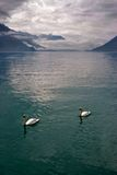 Friends. Bright lake and swans in Switzerland mountains stock photo