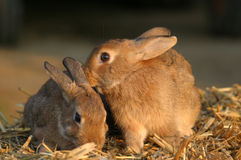 Friends. Two cute bunnies in warm evening light stock images