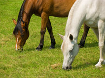 Friends. Two horses of different colors and races (european and arabian) grazing peacefully in perfect, harmonic motion side by side in the meadow Royalty Free Stock Photos