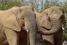 Friends. Elephants after mud bath Royalty Free Stock Photos