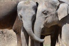 Ελέφαντας friends2 Στοκ Φωτογραφίες