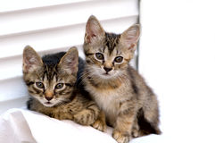 Friends. Portrait of two kittens against the white background Stock Photography
