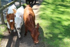 3 friends. 3 calves side by side Royalty Free Stock Image