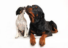 Friends dogs. Rottweiler and a jack russel terrier are very friends Stock Photos