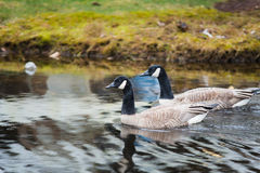 Friends enjoying in rain. Two canada geese (scientific name: Branta canadensis) swimming side-by-side in a pond in the rain. the ripples of the water due to royalty free stock photography