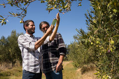 Friends examining olive oil in farm. On a sunny day Royalty Free Stock Photo