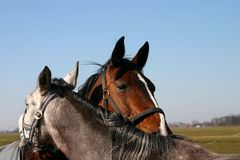 Friends - horses. A bay and a grey horse grooming eachother in a friendly way Royalty Free Stock Photography