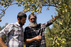 Friends interacting while examining olive on plant. In farm Stock Image