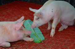 Friends,  pigs eating plants Stock Images