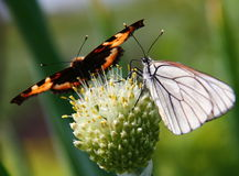 Friends. Two butterflys on  flower of  Allium fistulosum on green background Stock Photography