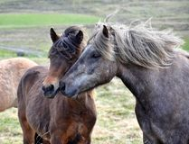 Friends. Two Icelandic horses in contact. Bay and dapple gray. stock photography