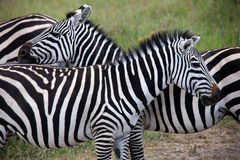 Friends of zebra Stock Photos