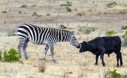 Friends, Zebra, Cow Royalty Free Stock Images