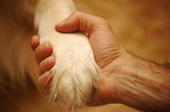 Friendship. A paw of a golden retriever and a male hand in symbolic gesture of friendship stock photos