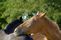 Friendship. Horse resting its head on the other one. True friendship Stock Images