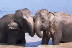Friendship. Two elephants play together in a river Royalty Free Stock Photography