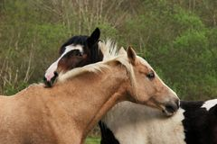 Friendship. Upper bodies of two horses, one brown and one black and white,  with their heads resting on each other in a gesture of love and friendship Royalty Free Stock Photos