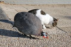 Friendship between cat and guinea fowl Stock Photos