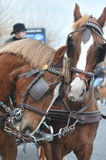 Friendship horses. Civitavecchia Rome Italy, A pair of brown horses to a parade of Sant`Antonio is also considered the patron of pets.The horses received the royalty free stock photos