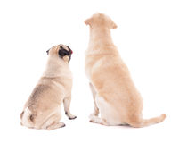Friendship concept - back view of two sitting dogs isolated on w Stock Photos