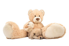 Friendship concept. Small pomeranian dog and teddy bear isolated Royalty Free Stock Images