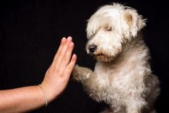 Friendship with dog. Friendship and devotion of white schnauzer dog on dark background, the dog gives five with his paw to male hand. Friendship concept Royalty Free Stock Photos