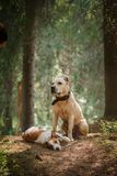 Friendship. Dogs in the forest Royalty Free Stock Photo