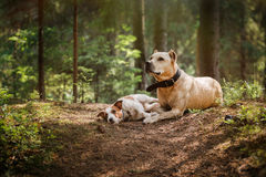 Friendship. Dogs in the forest Royalty Free Stock Images