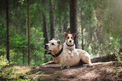 Friendship. Dogs in the forest Stock Image