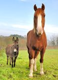 Friendship between a donkey and a horse Stock Photography