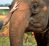 Friendship between elephant and man Royalty Free Stock Images