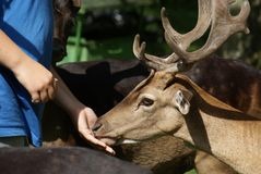 Friendship of fallow buck and man Stock Images