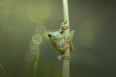 Animals, dumpy frog, amphibians, treefrog, animal-wildlife, reptiles, bokeh, indonesia, animal, nature, wildlife, mammals, green, royalty free stock photography