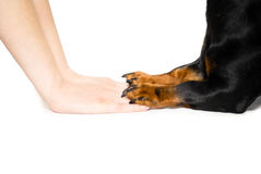 Friendship between human and dog. Shaking hand and paw Stock Photo
