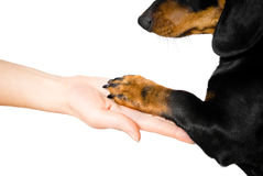 Friendship between human and dog. Shaking hand and paw Stock Image